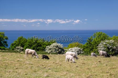 flock seaside on bornholm