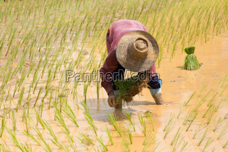 piantare seminare asia agricoltura pianta commestibile