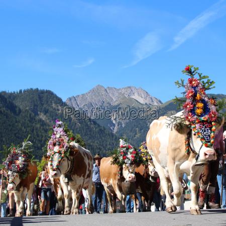 montagne austria mucche acqua salata mare