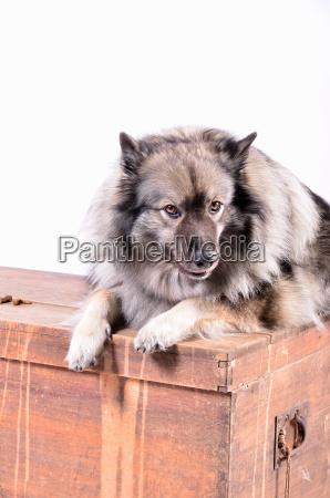 cane sul petto di legno nello
