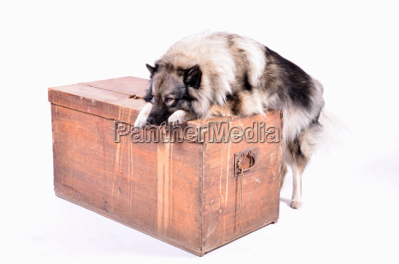 cane sul petto di legno in