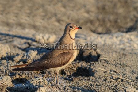 uccello marrone natura abbronzatura delta del