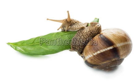 snail and green leaf