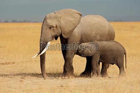 elefante, africano, con, vitello - 10094120
