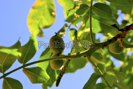 albero giardino foglie botanica giardini noce
