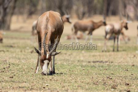 animale mammifero africa natura safari antilope