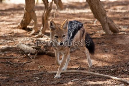 africa natura cespuglio volpe sciacallo