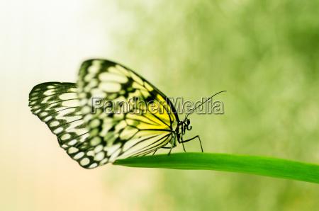 insetto farfalla falena cimice parassiti giallo