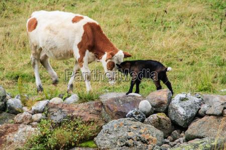 combattimento guerra combattere capra mucca vitello