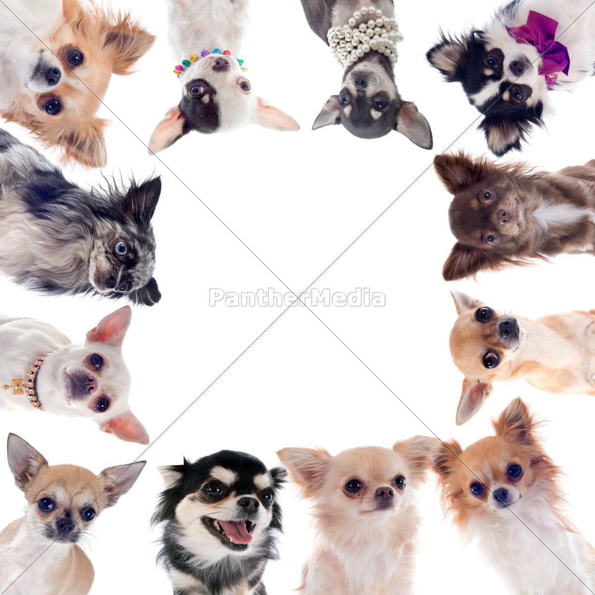gruppo, di, chihuahua - 10298583