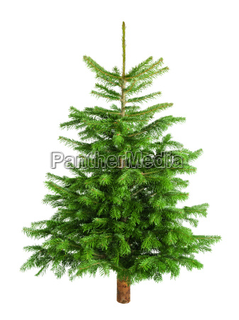 poet small fir tree on pure