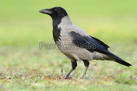 natura corvo corvi