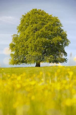 grande beech come un singolo albero