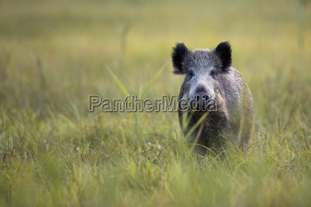 boar in the wild in the