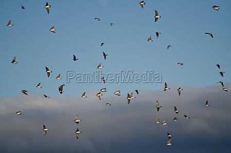 albero rondine bianco grigio volare vola