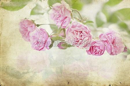 rose rosa su sfondo di carta
