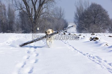 labi nella neve