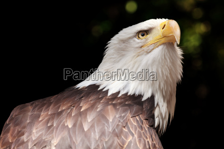 bald eagle in portrait