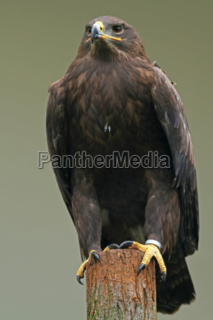 animale uccello uccelli rapace aquila