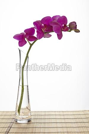 bicchiere porpora bambu alto fiore orchidea