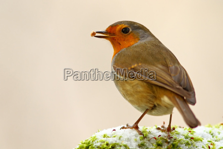 inverno animale uccello animali uccelli pettirosso