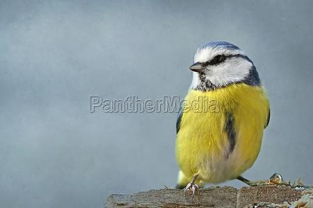 uccello animali uccelli cinciallegra cincia