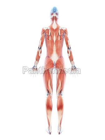 3d rendering illustrazione del sistema muscolare