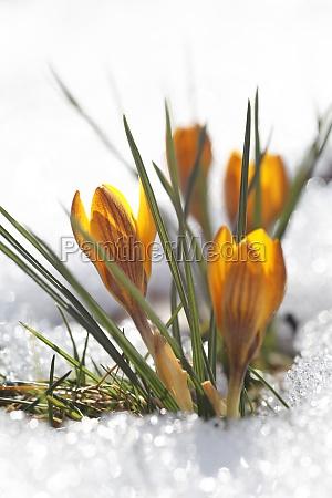 primo piano close up inverno fioritura