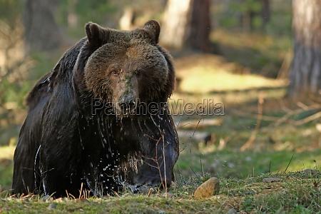 animale orso animali
