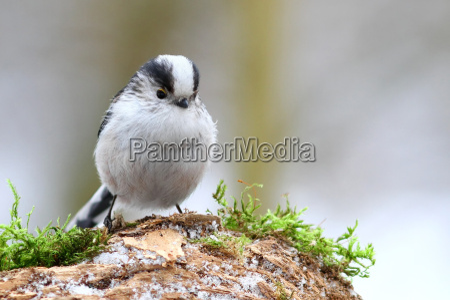 animale uccello animali uccelli cinciallegra cincia