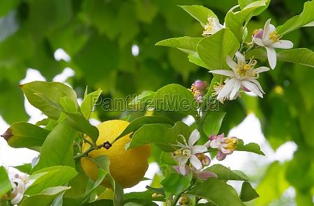 arancia albero fioritura fiorire maturo frutta
