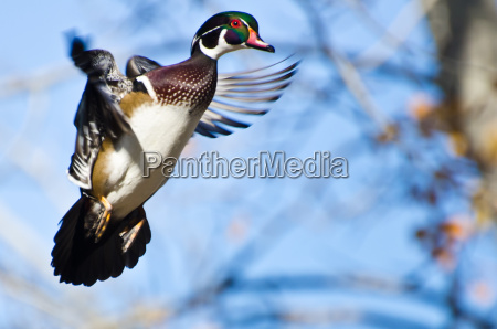maschio wood duck in flight