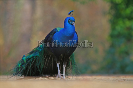ambiente uccello uccelli pavone natura
