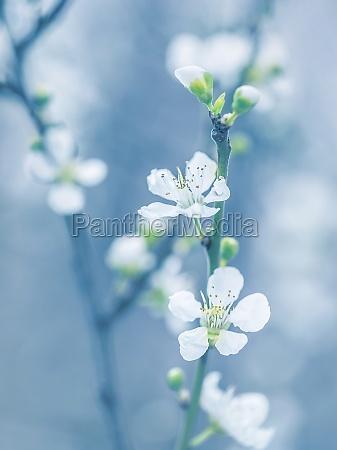 albero in fiore in primavera