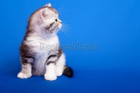 gatto scozzese di razza pura