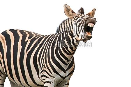 gridare o ridere zebra