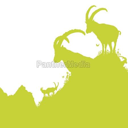 ibex in montagna