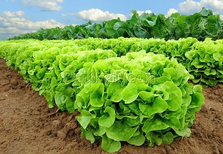 piante di insalata prima della raccolta