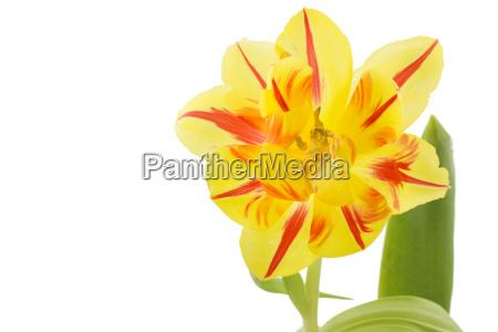 tulipano giallo con strisce rosse