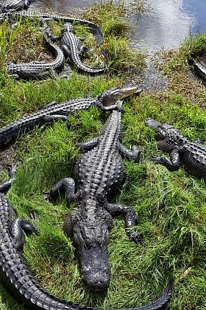 coccodrillo stati uniti damerica usa america