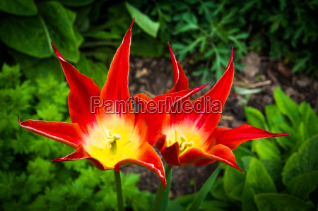 tulip flowers with pointed leaves