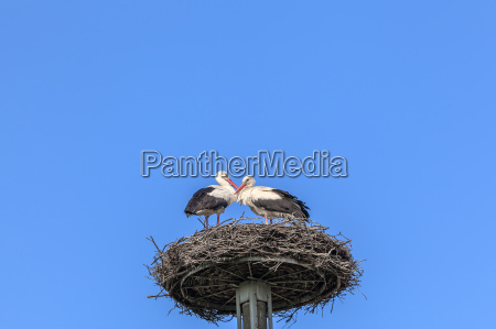 pair of white storks in the