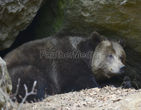 orso pelliccia grotta parco nazionale selvaggio