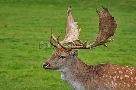 virile mascolino ruminante daino cervo