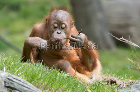 sognando orangutan