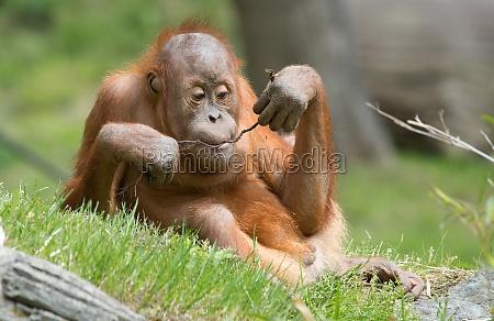gioco giocato giocare scimmia in salita