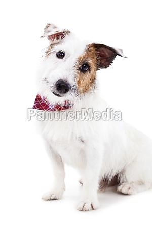 puppy jack russel terrier cane sullo
