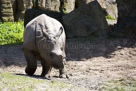 rhino in a clearing