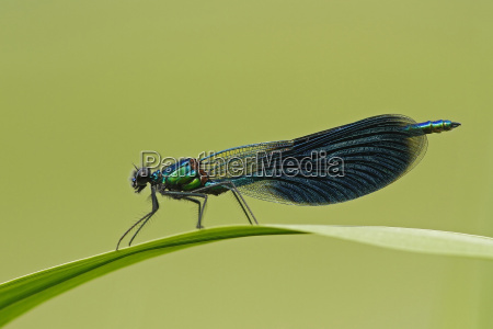 foglia ambiente foglie libellula libellule natura