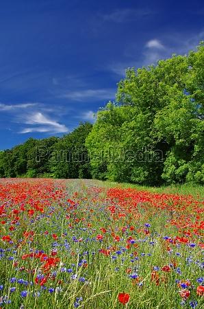 poppies field near lohme northeast ruegen